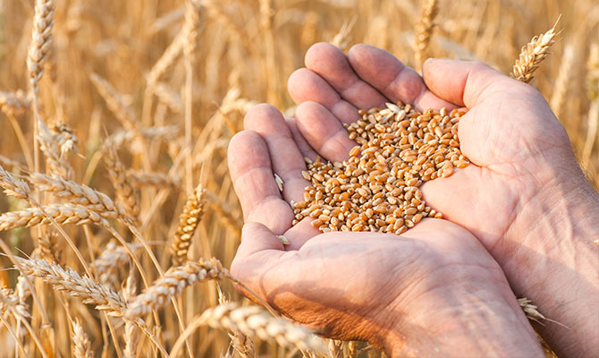 Holding wheat grains in palm of hands