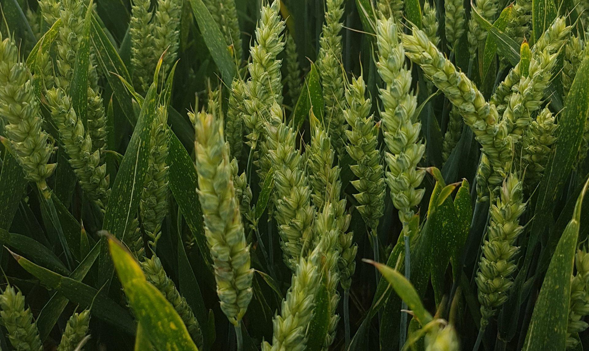 Reflection wheat